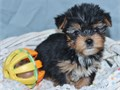 Valentine Yorkies small baby Yorkie available for Valentines day charting very small The gift of