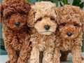 We have lovely males and females Golden doodle puppies available dm for more info asp dont miss thi