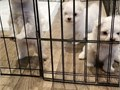 ave a stunning tiny 13 week old male Maltese puppies looking for a new home He has a lovely persona