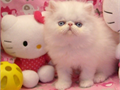 CFA Registered Purebred Persian Kitten with no Himmi Lines from CFA Champion Parents Home raised