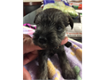 Schnauzer puppies born 8-2-2017 Tails docked and dew claws removed Wormed 246 weeks and first sh