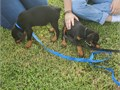Doberman puppies CKC males and females black and tan Reds shots dewormed houses breaking started