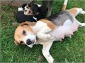 make and female beagles puppies 12 weeks old They have been brought up in a family with children an