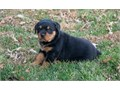12 weeks old Rottweiler puppies ready Text me at 7074097873 for more info and photos