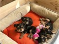 Beautiful Intelligent Health Guaranteed Pure Yorkie Puppies Very fluffy with long hair  Male and