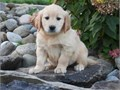goldie puppies for sale 330 661-3616 please contact for more details and photos