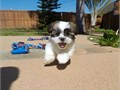 Puppys name TristenBreed Shih TzuMalteseAge 10 weeks old Registry NAEstimated adult w