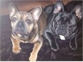 fawn french bulldog with very minimum colour of white on his chest he came from a litter of 6 these