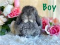 Lovable and adorable eight week old Holland lop and Lionhead baby bunnies Maximum weight is between