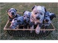 Along with their first set of shotstheyve been dewormed and dew-clawed All have gorgeous blue ey