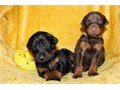 Dobermann puppies for more details and pictures contact me via  pwernick7gmailcom or 385 262-76