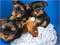 We have a wonderful litter of home reared puppies available now to go to loving caring homes mom is