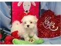 Prestigious Maltese Pups For more detail and recent pictures for the puppies email  me to stevenhow