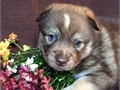 Adorable Pomsky Puppies with wonderful temperament available only to good homes 65500 bestpomskyf