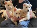 Beautiful big boned German Shepherd PuppiesKC registeredVet Checked and 1st VaccinationFlea an