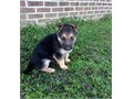 Cheerful German Shepard puppies availableThese puppies akc registered  vet che