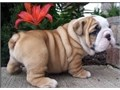 Formidable Male and Female English Bulldog puppies for sale our puppies comes with all paperworks