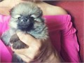 I have a beautiful litter of Pomeranian puppies these puppies have been brought up In a family home