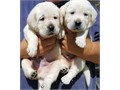 Big Beautiful English Blockheads White Labrador Retrievers Purebred w papers 4 males available