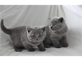loyal British kittenAll kittens are raised in our home and are well socialized and handled daily