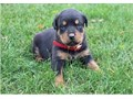 available for caring and lovely homes are my cute rotweiller pups both male and