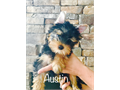 AKC Traditional Yorkie puppies available Located in Southern California lap nanny available Come w