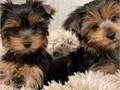 Adorable YORKIE Puppies that easily interacts with kids and other pets including bigger dogs the pu
