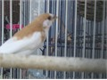 SOCIETY FINCHES  FOR SALE -- some cinnamon some chocolate  waiting to meet you  large or  a small c