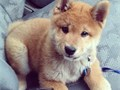 Male and female Shiba Inu puppies available for rehoming They are potty trained vet checked and al