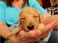 Register Standard Poodle - Dark apricot apricot and cream born on 091317 taking deposits 7 girl