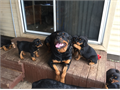 ROTTWEILER AKC puppies 2 Male1 Female Born 112416 Parents on siteChampion blood line First sh