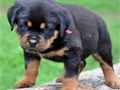 Rottweiiler AKC registered BoyGirls  10weeks old  vaccinated and come papers interested Textcall