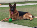 Special German Shepherd for special people Buy your German Shepherd Dog with confidence Excellent