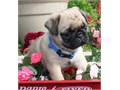 Fawn Pug Puppies 11 week old with vaccines and deworming For mor info please call or textText