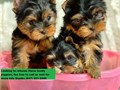 Adorable purebred male Yorkie Puppy Shots will be UTDpuppy will be coming alongside accessories He