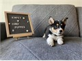 Super cute Welsh Corgi puppies are looking for a forever loving home Full AKC