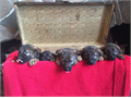 German Shepherd Beautiful Intelligent Loving  Protective AKC Registered Puppies  Sables and Bl