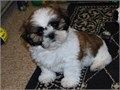 Shih Tzu puppies for sale you can text me for fast response 424x275x7084