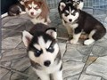 Get your family a forever Xmas gift  these puppies are very lovely and the are