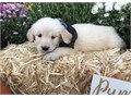 golden retriever puppies up for adoption for more info and pics please call or s