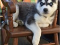 Stunning Blue eyes Siberian husky puppies for sale text us at 213 839-6627 for more pics and detai