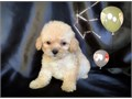 I HAVE MALE AND FEMALS8 WEEKS OLD SHOTS AND DEWORM ARE UP TO DATEHEALTH GUARANTEECALL ME AT