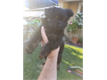 Hi Im selling the last AKC black yorkie female of the litter  She is 11 weeks old has 2 set of sho