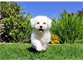 Reid is a 9 week old male Bichon Frise He is ACA registered and comes with a 1 year Health Gurantee