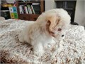 Beautiful apricot boy maltipooSweet little boy true toy size both parents are here to view Mum