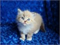 401 305-0156Home Raised Ragdoll KittensI have 3 of them a female and 2 males 11 weeks old k