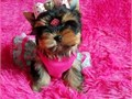 I have a 10 weeks old female yorkie PuPpy The person that was going to get her for some reason coul