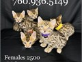 Hi We have a litter of bengals that will be available in a couple weeks  2 girls and 3 boys  Girl