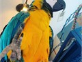 Adorable blue and gold macaw parrots ready to go
