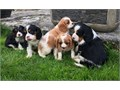 Beautiful Cavalier King Charles Puppiesvaccination  MicrochipVet check Email directly at jortayl